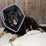 All Four Paws, The Comfy Cone, la collerette de protection confortable pour animal domestique de la marque James & Steel image 2 produit