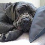 douleur articulaire chez le chien TOP 6 image 4 produit