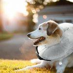 LeRan Collerette gonflable pour chien pour après la chirurgie Petit Moyen Grand Animaux Colliers de protection contre la récupération pour prévenir les blessures causées par les points de contact et les blessures aggravantes de la marque LeRan image 1 produit